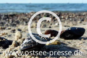 Ostsee Pressebild: Muscheln an der Ostsee