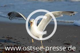 Ostsee Pressebild: Möwe