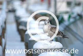 Ostsee Pressebild: Möwe im Winter