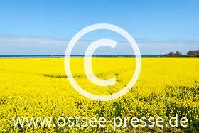 Ostsee Pressebild: Leuchtend gelbe Rapsfelder an der Ostsee